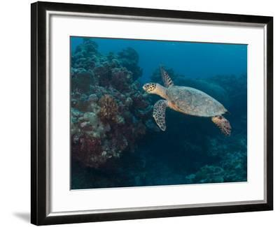 Hawksbill Turtle, Palau, Micronesia, Rock Islands, World Heritage Site, Western Pacific-Stuart Westmoreland-Framed Photographic Print