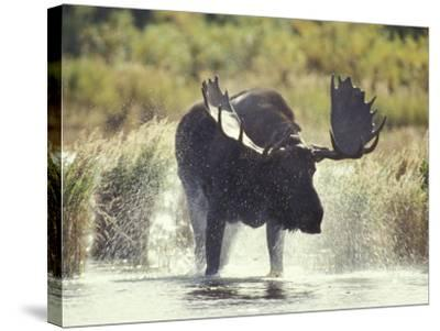 Moose Shower in Katmai National Park, Alaska, USA-Howie Garber-Stretched Canvas Print