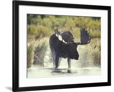 Moose Shower in Katmai National Park, Alaska, USA-Howie Garber-Framed Photographic Print