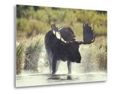 Moose Shower in Katmai National Park, Alaska, USA-Howie Garber-Metal Print