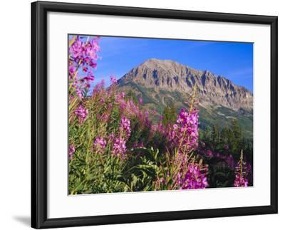 Fireweed and Mt. Gothic near Crested Butte, Colorado, USA-Julie Eggers-Framed Photographic Print
