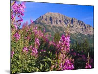 Fireweed and Mt. Gothic near Crested Butte, Colorado, USA-Julie Eggers-Mounted Photographic Print