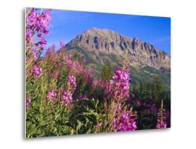 Fireweed and Mt. Gothic near Crested Butte, Colorado, USA-Julie Eggers-Metal Print