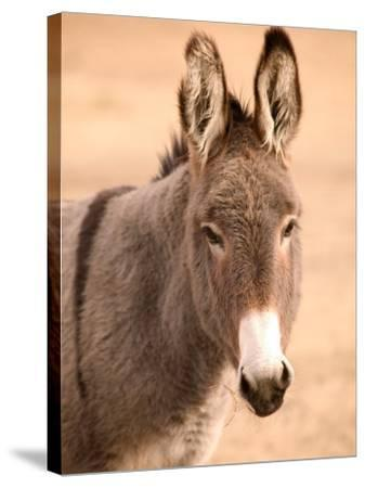 Philmont Scout Ranch Museum Burro, Cimarron, New Mexico, USA-Walter Bibikow-Stretched Canvas Print