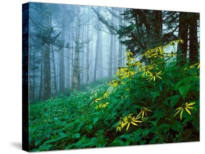 Golden-Glow Flowers, Great Smoky Mountains National Park, North Carolina, USA-Adam Jones-Stretched Canvas Print