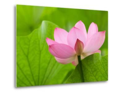 Perry's Water Garden, Lotus Bloom and Leaves, Franklin, North Carolina, USA-Joanne Wells-Metal Print