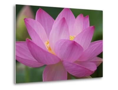 Perry's Water Garden, Lotus Blossom, Franklin, North Carolina, USA-Joanne Wells-Metal Print