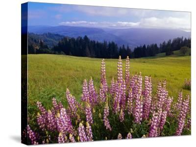 Blue-Pod Lupine in Bloom, Oregon, USA-Adam Jones-Stretched Canvas Print