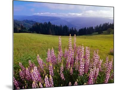 Blue-Pod Lupine in Bloom, Oregon, USA-Adam Jones-Mounted Photographic Print
