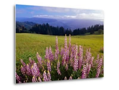 Blue-Pod Lupine in Bloom, Oregon, USA-Adam Jones-Metal Print