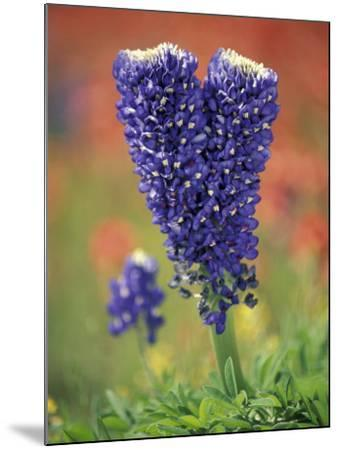Double-Flowered Texas Bluebonnet, Hill Country, Texas, USA-Adam Jones-Mounted Photographic Print