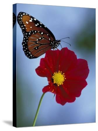 Butterfly on Cosmos in the Woodland Park Zoo, Seattle, Washington, USA-Darrell Gulin-Stretched Canvas Print