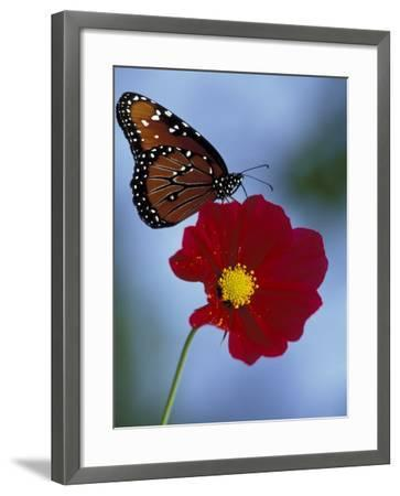 Butterfly on Cosmos in the Woodland Park Zoo, Seattle, Washington, USA-Darrell Gulin-Framed Photographic Print