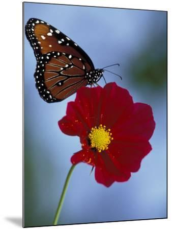 Butterfly on Cosmos in the Woodland Park Zoo, Seattle, Washington, USA-Darrell Gulin-Mounted Photographic Print