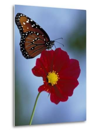 Butterfly on Cosmos in the Woodland Park Zoo, Seattle, Washington, USA-Darrell Gulin-Metal Print