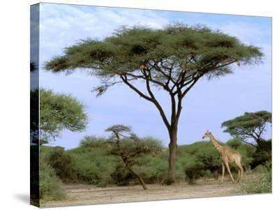 Southern Giraffe and Acacia Tree, Okavango Delta, Botswana-Pete Oxford-Stretched Canvas Print