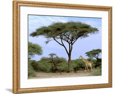 Southern Giraffe and Acacia Tree, Okavango Delta, Botswana-Pete Oxford-Framed Photographic Print