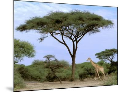 Southern Giraffe and Acacia Tree, Okavango Delta, Botswana-Pete Oxford-Mounted Photographic Print