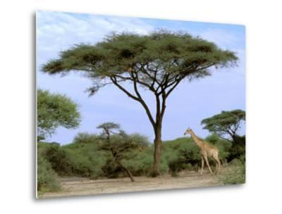 Southern Giraffe and Acacia Tree, Okavango Delta, Botswana-Pete Oxford-Metal Print
