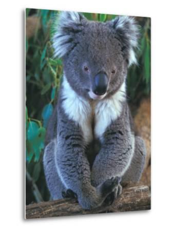 Koala, Australia-John & Lisa Merrill-Metal Print