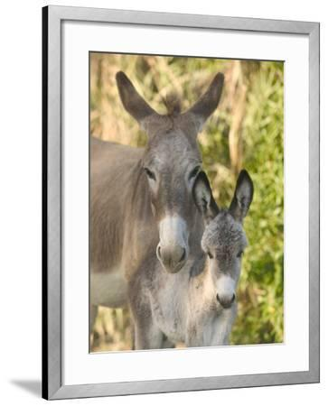 Mother and Baby Donkeys on Salt Cay Island, Turks and Caicos, Caribbean-Walter Bibikow-Framed Photographic Print
