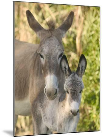 Mother and Baby Donkeys on Salt Cay Island, Turks and Caicos, Caribbean-Walter Bibikow-Mounted Photographic Print