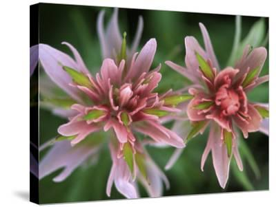 Indian Paintbrush, Banff National Park, Alberta, Canada-Rob Tilley-Stretched Canvas Print