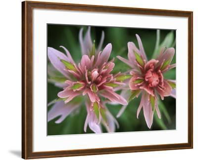 Indian Paintbrush, Banff National Park, Alberta, Canada-Rob Tilley-Framed Photographic Print