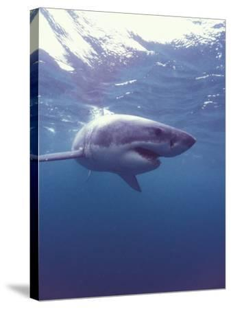South Africa Great White Shark-Michele Westmorland-Stretched Canvas Print