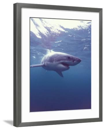 South Africa Great White Shark-Michele Westmorland-Framed Photographic Print