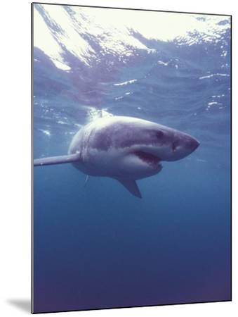 South Africa Great White Shark-Michele Westmorland-Mounted Photographic Print