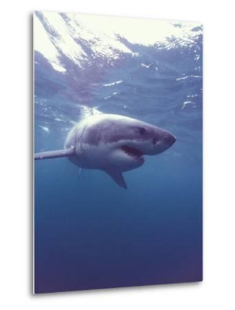 South Africa Great White Shark-Michele Westmorland-Metal Print
