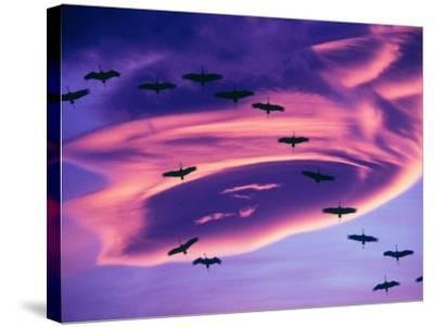 Sandhill Cranes in Flight and Lenticular Cloud Formation over Mt. Shasta, California-Tom Haseltine-Stretched Canvas Print