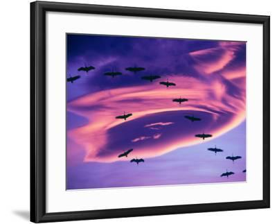 Sandhill Cranes in Flight and Lenticular Cloud Formation over Mt. Shasta, California-Tom Haseltine-Framed Photographic Print