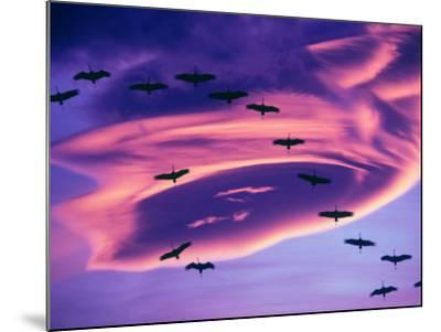 Sandhill Cranes in Flight and Lenticular Cloud Formation over Mt. Shasta, California-Tom Haseltine-Mounted Photographic Print