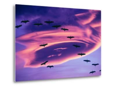 Sandhill Cranes in Flight and Lenticular Cloud Formation over Mt. Shasta, California-Tom Haseltine-Metal Print