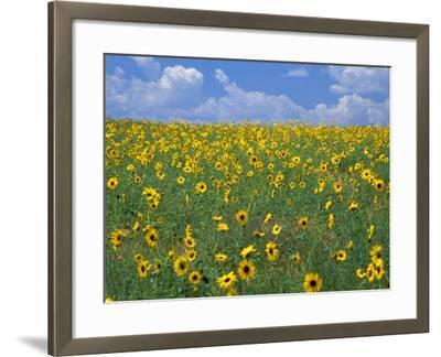 Sunflowers, Colorado, USA-Terry Eggers-Framed Photographic Print
