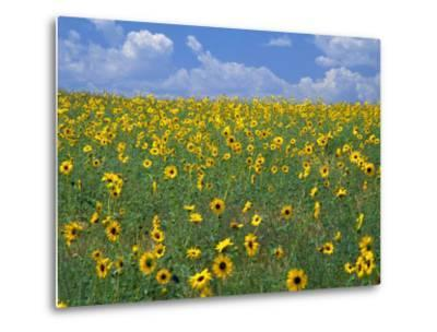Sunflowers, Colorado, USA-Terry Eggers-Metal Print