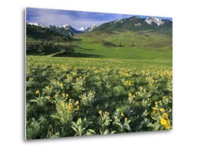 Balsamroot in the Absaroka Mountains, Livingston, Montana, USA-Chuck Haney-Metal Print