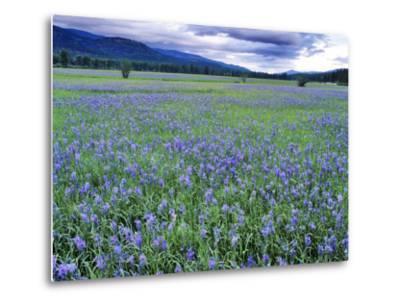 Field of Blue Camas Wildflowers near Huson, Montana, USA-Chuck Haney-Metal Print