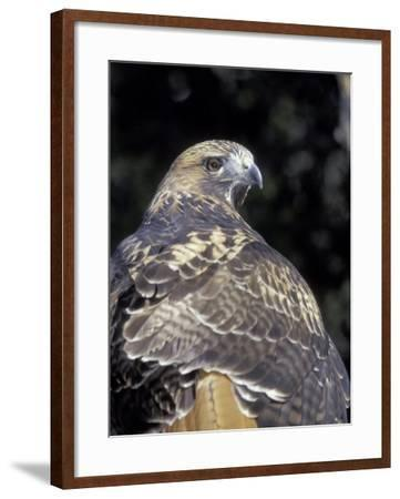 Red-Tailed Hawk Showing Tail Colors, Wildlife West Nature Park, New Mexico, USA-Maresa Pryor-Framed Photographic Print