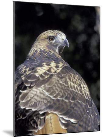 Red-Tailed Hawk Showing Tail Colors, Wildlife West Nature Park, New Mexico, USA-Maresa Pryor-Mounted Photographic Print