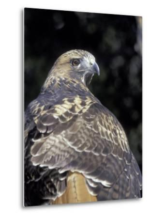 Red-Tailed Hawk Showing Tail Colors, Wildlife West Nature Park, New Mexico, USA-Maresa Pryor-Metal Print