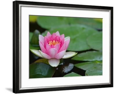Lily Pads in Fountain at Yaddo Gardens, Saratoga Springs, New York, USA-Lisa S^ Engelbrecht-Framed Photographic Print