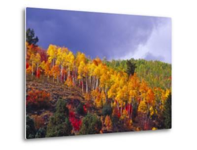 Colorful Aspens in Logan Canyon, Utah, USA-Julie Eggers-Metal Print