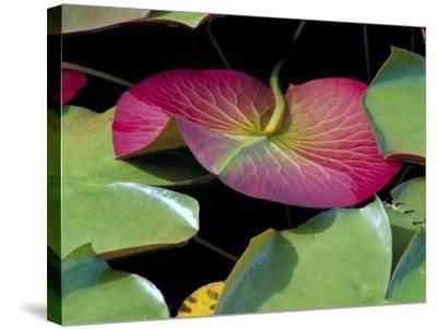 Lily Pads, Washington, USA-Terry Eggers-Stretched Canvas Print
