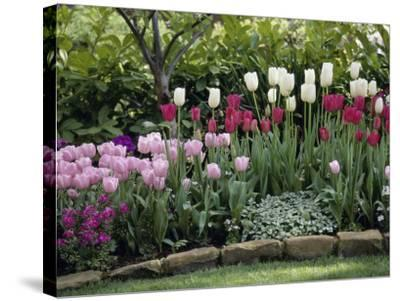 Tulips--Stretched Canvas Print