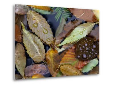 Autumn Leaves Float in a Pond at the Japanese Garden of Portland, Oregon, Tuesday, October 24, 2006-Rick Bowmer-Metal Print