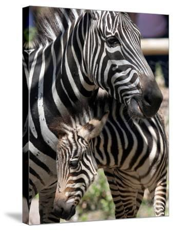 A Male Baby Zebra Named Roger--Stretched Canvas Print