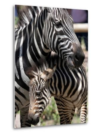 A Male Baby Zebra Named Roger--Metal Print